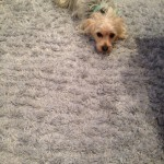 Richmond-Dog-carpet-clean